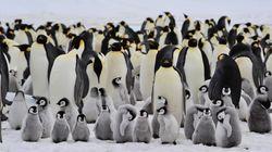 Nel 2016 si sciolse un ghiacciaio in Antartide e 25mila pinguini morirono affogati: lo studio su Antarctic