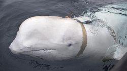 Beluga con misteriosa imbracatura trovata al largo della Norvegia. Per gli esperti è una spia