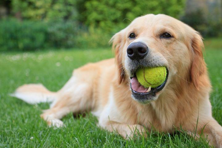 Cachorros da raça Golden Retriever estão em 7º na preferência dos brasileiros.
