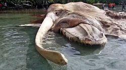 Questa gigantesca creatura marina arenata su un'isola sta facendo impazzire il