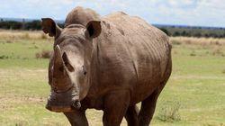 Sauver le rhinocéros blanc de l'extinction avec l'aide de