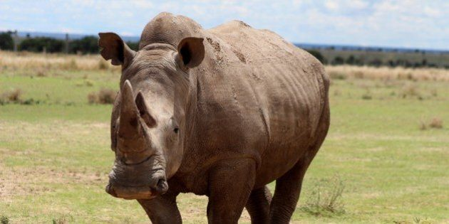 LAIKIPIA, KENYA - MAY 03: A northern white rhinoceros is seen at Ol Pejeta Conservancy, a 90,000-acre...