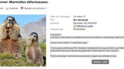 Les marmottes qui ont prédit un printemps hâtif sont en vente sur