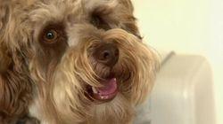 Nouveau Brunswick : De plus en plus de chiens drogués à la