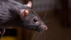 Les rats grouillent à l'École secondaire