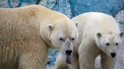 Des ours polaires assiègent des chercheurs russes sur une île de