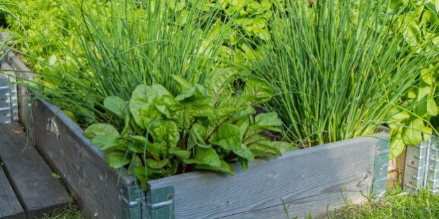 Lettuce, chives and other herbs and plants in a wooden crate in a garden in the summer.