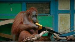 Cet orang-outan manie la scie comme un