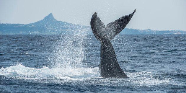Le gouvernement fédéral suspend le sauvetage de baleines