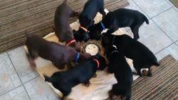 Regarder ces chiots manger leur gamelle est hypnotisant