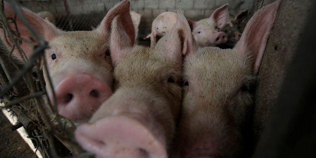 Des groupes de défense des animaux attaquent de nouveau le Festival du cochon de