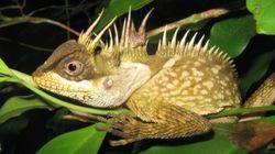 Serpent arc-en-ciel et lézard dragon, «nouvelles» espèces du Grand