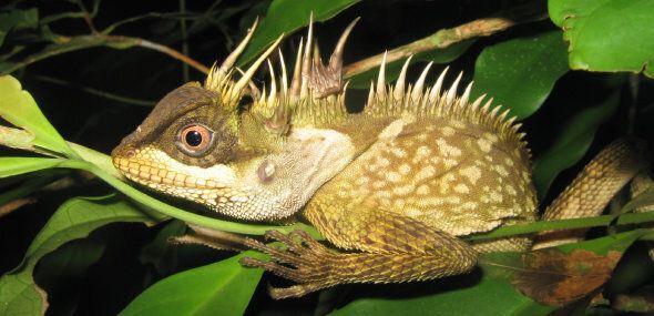 Un serpent arc-en-ciel et un lézard dragon, «nouvelles» espèces de la région du Grand Mékong