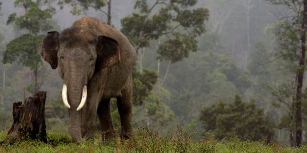 A Sumatran elephant is pictured at the Elephant Training Centre in Minas, Indonesia's Riau province February...