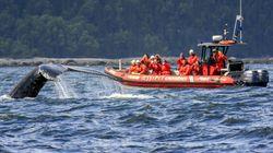 Un zodiac heurte une baleine au large des