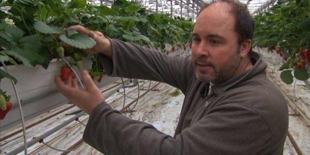 Des fraises québécoises offertes sur le marché en