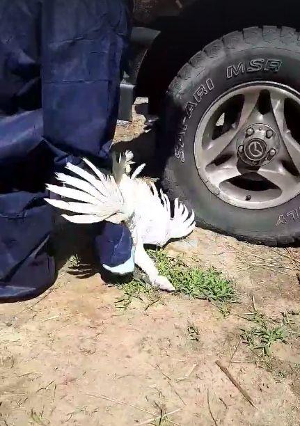 Même si ces euthanasies de volaille semblent choquantes, elles sont tout à fait conformes assure le