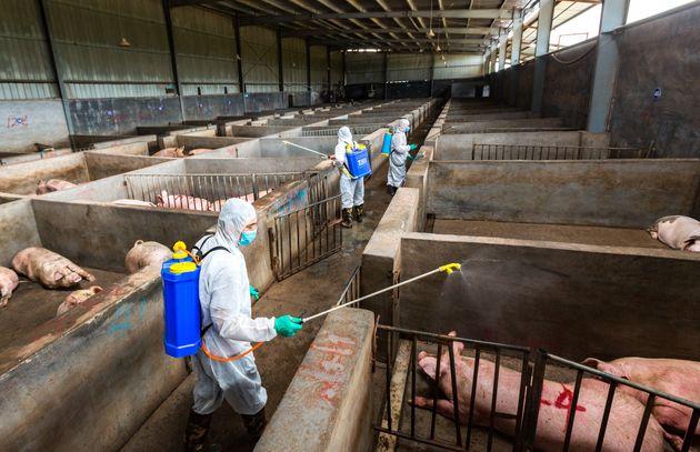 Κίνα: Πώς ένα μικρό ξέσπασμα πανώλης των χοίρων απειλεί την παγκόσμια