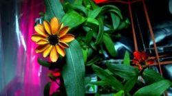 Les premières fleurs de l'espace ont