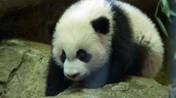 Bei Bei, le bébé panda géant, fait ses premiers pas en public