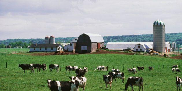 Un agriculteur trouve 10 de ses vaches tuées par la