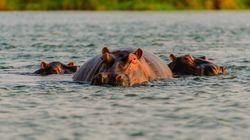 Plus de 100 hippopotames retrouvés morts en