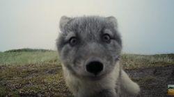 Ces renardeaux arctiques ont détruit cette caméra cachée de la plus adorable des