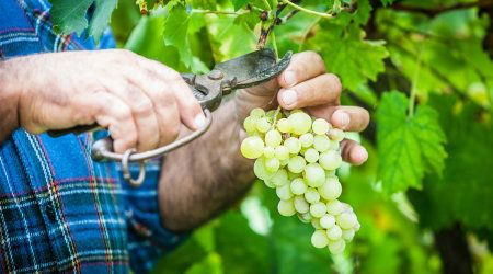 15070474 - adult man harvesting grapes in the
