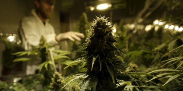 Grower Denis Contry checks out his marijuana plants at the Ganja Farms marijuana store in Bogota, Colombia,...