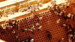 Des pesticides tueurs d'abeilles présents dans 75% du miel