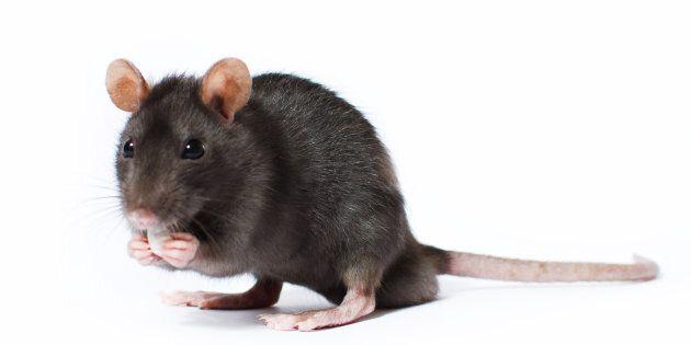 Avec le changement climatique, la souris mute et remonte au