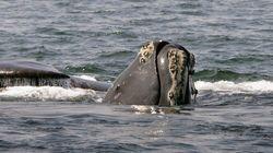 La baleine noire pourrait disparaître selon la