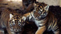 Trois petits tigres de Sibérie arrivent au Zoo de