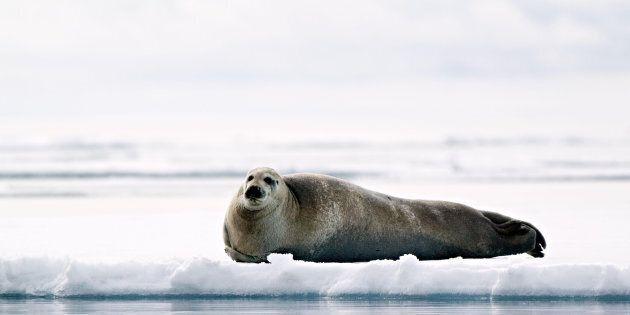 Un garçon inuit attrape un phoque avec son bâton de