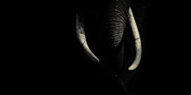 Ivory, where it belongs, beautiful.Asian elephant, Elephas maximus