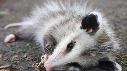 Un opossum entre dans un magasin d'alcool et se