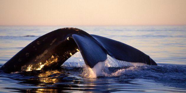 Ottawa annonce des mesures pour protéger les baleines