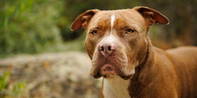 Longueuil adopte une résolution pour interdire les pitbulls et les races