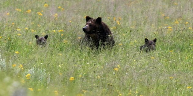 A grizzly bear and her two cubs is seen on a field at Yellowstone National Park in Wyoming, United States,...
