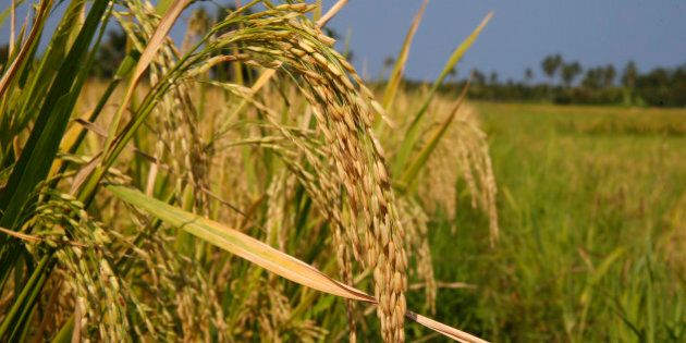 Ripe palay grains ready for harvesting are pictured at a rice field in Mogpog, Marinduque in central...