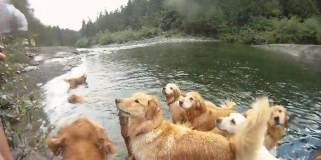Tout va bien dans le monde: ces 13 golden retrievers ont pu se baigner