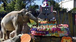 57 bougies et un gâteau géant de fruits pour Trompita, l'éléphante star du zoo de