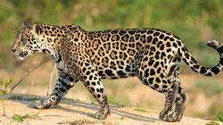 Brésil : un jaguar sacrifié après le passage de la torche