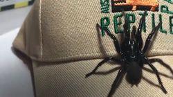 Cette araignée s'appelle «Colossus» (et peut tuer un humain en 15