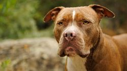 Brossard annonce l'interdiction des pitbulls sur son