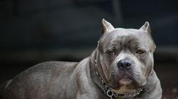 La question des pitbulls évacuée d'une consultation sur le contrôle des animaux à