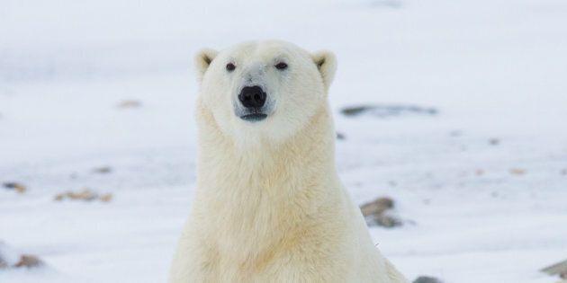 Les ours polaires ont déjà amorcé leur migration vers le Grand