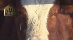 Industrie bovine: quand le prix du bétail et celui de l'épicerie