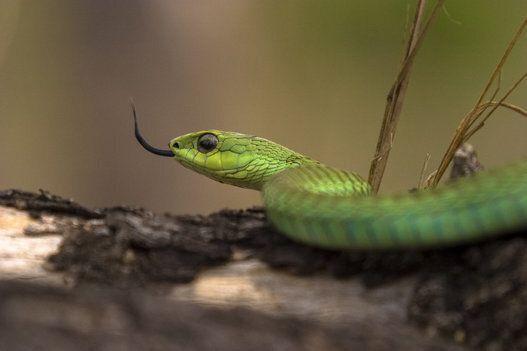 Saint Patrick n'a pas fait partir tous les serpents