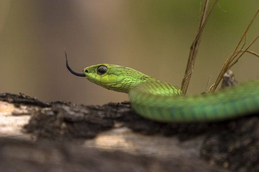 Saint Patrick n'a pas fait partir tous les serpents d'Irlande